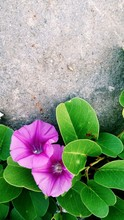 Close-up Of Morning Glory Blooming By Rock