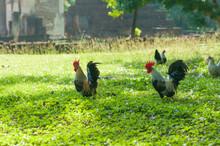 Bantam Animal In Garden