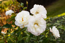 Closeup Of A Cluster Of White Roses In Bloom, A Brilliant Floral Display.