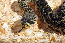 Crotale Diamantin, Crotalus Adamanteus, Eastern Diamondback Rattlesnake