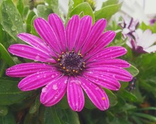 Close-up Of Water Drops Pink Daisy Outdoors