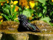 Adult Starling Using Bird Bath...