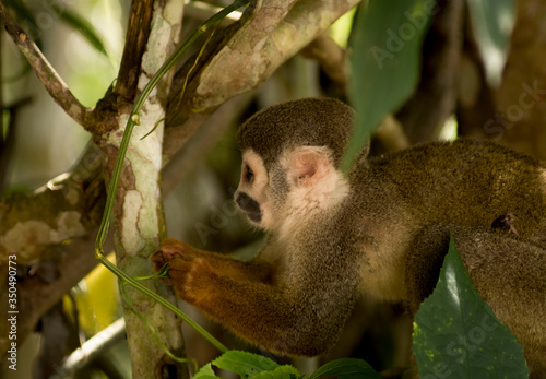 A cappuccino monkey exploring the tree and looking for food in Ecuador Southamer Canvas Print