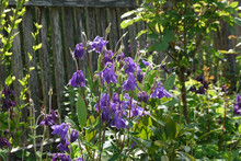 Purple European Columbine, Aqu...
