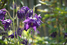 Purple European Columbine, Aquilegia Vulgaris In The Morning Light In Front Of A Wooden Fence, Close Up, Macro, Romantic Country Garden, For Concept Meditation, Relaxation, Gardening, Vibrant