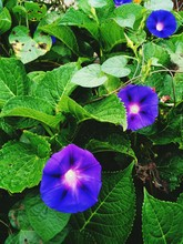 Close-up Of Morning Glory Blooming Outdoors