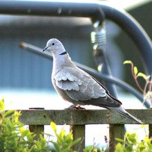 Eurasian Collared Dove On Railing