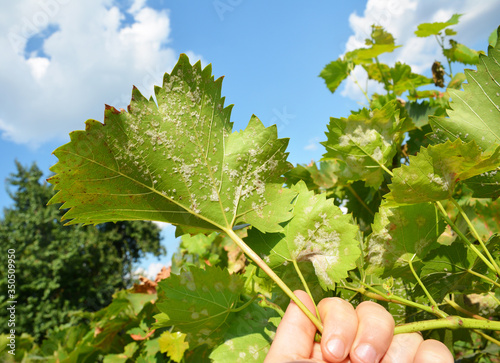 Fotografie, Obraz A close-up on a grapevine leaves infected with a powdery mildew, downy mildew, yellow spots which need treatment from fungal disease that can lead to a severe crop loss of grapes
