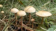 Close-up Of Wild Mushrooms Growing On Field