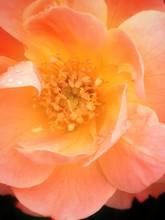 Macro Shot Of Pink Camellia Fl...