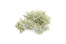 Tree Moss Isolated On White Background. Piece Of Fresh Lichen Forest Plant. .