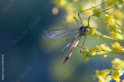 komar insekt kwiat makro natura - 350529541
