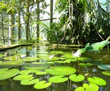 White Water Lilies Blooming In Pond