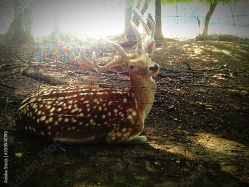 Axis Deer At Sunlight Canvas Print