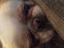 Portrait Of Pekingese Relaxing At Home
