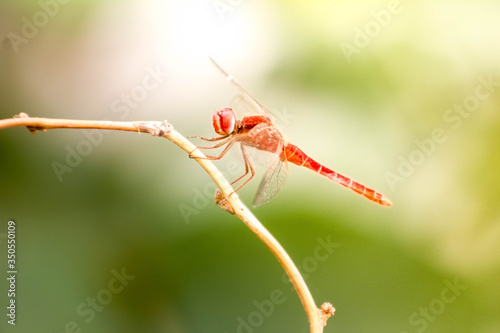 Vászonkép The Red Dragonfly, also known as Red-Veined Darter or Nomad is technically known as Sympetrum Fonscolombii, and belongs to the Sympetrum genus