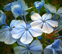 Close-up Of Blue Plumbago Flowers Blooming