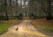 Pheasant In Forest Setting With A Stone Wall Of Old British Country Estate
