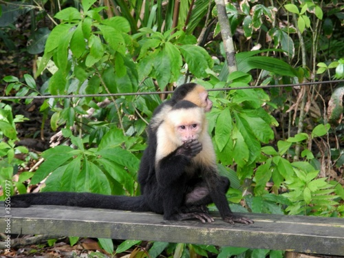 Capuchin Monkeys On Bench At Forest Fototapeta