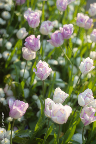 A Field of Purple and White Shirley Tulips in a Garden in Glasgow Scotland