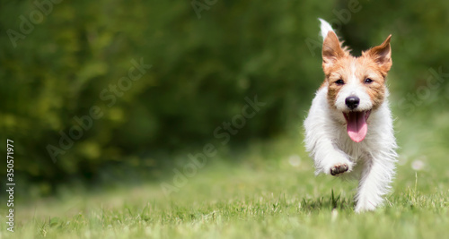 Fotografie, Tablou Funny playful happy jack russell terrier pet puppy running in the grass and smiling
