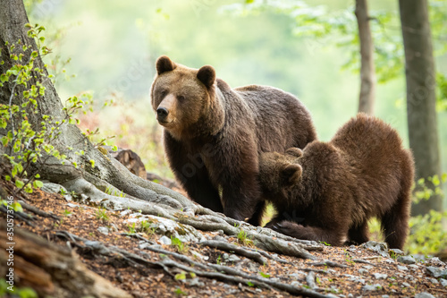 brown bear, ursus arctos, cub kneeling by its mother and drinking milk in green forest Fotobehang