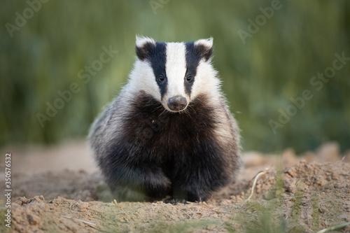 Fotografia Badger, Meles meles, single mammal at dusk