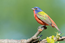 Male Painted Bunting Perched On A Stick Looking Left
