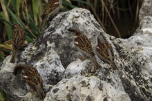 Sparrows Perching On Rock