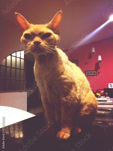 Obraz na płótnie Cat Sitting On Table At Home