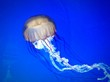 canvas print picture - Close-up Of Jellyfish Swimming In Sea