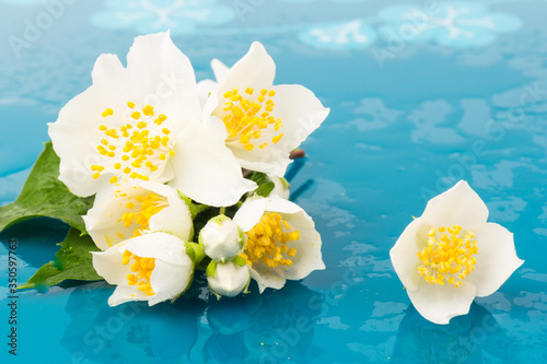 Blooming Jasmine flowers isolated on blue background, close up Canvas Print