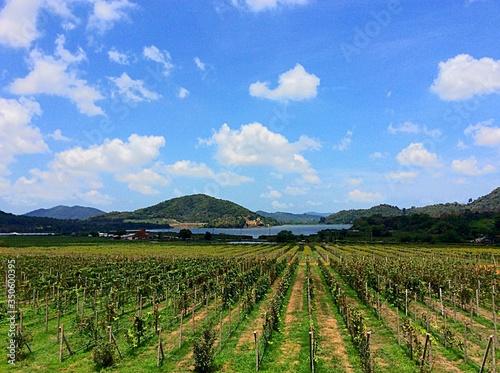 Vineyard At Rural Hillside Fototapet
