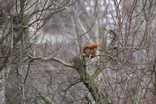 zwierzak,drzewo,gałązka,ogon,dzika natura,wiewiórka, Obraz na płótnie