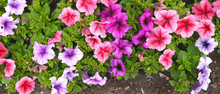 A Nature Photo Is A Beautiful Petunia Flower. Plant Petunia Flower With Blooming Pink Petals. Petunia Flower Flowerbed With Open Buds