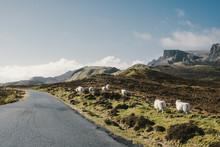 Sheep Walking At Edge Of Road