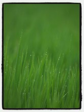 Blades Of Grass Covered In Dew