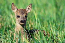Fawn Closeup. Little White-tai...