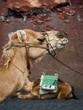 Lanzarote, głowa wielbłąda