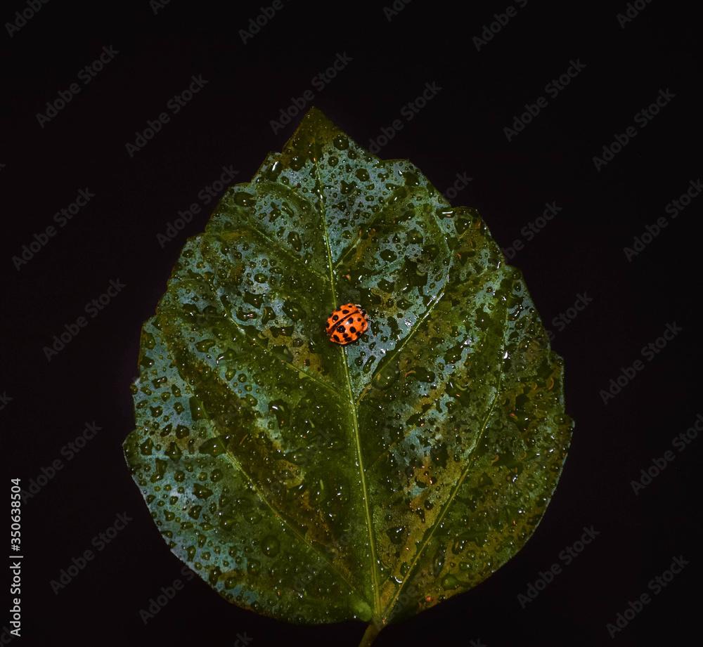 Fototapeta liść z biedronką