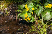 Yellow Marsh Marigolds And Grass Along A Stream.