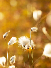Gentle Cotton Grass Growing In...