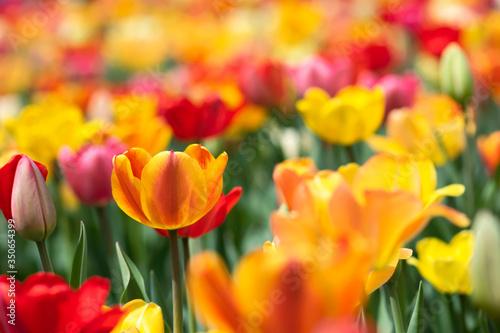 Orange Tulip in Field