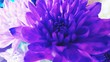 canvas print picture - Close-up Of Purple Chrysanthemum Blooming Outdoors