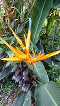 High Angle View Of Yellow Strelitzia Blooming In Garden