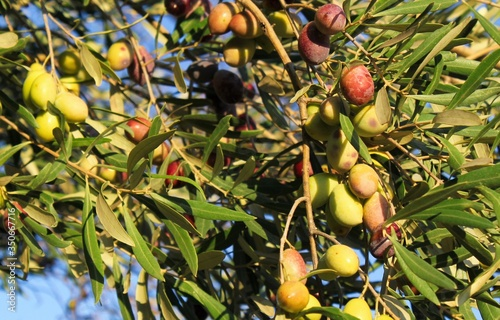 Greece, Attica, olives on olive tree branch. Canvas Print