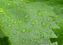 Green Leaves Become Wet Under The Rain