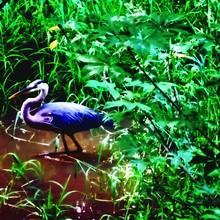 Great Blue Heron Wading In Lak...