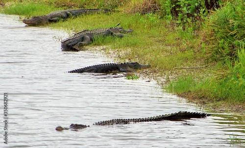 Alligators At River Canvas Print