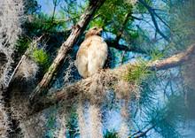 Red Shouldered Hawk Fledgling Sitting In Pine Tree In Okefenokee Swamp Park In Georgia.